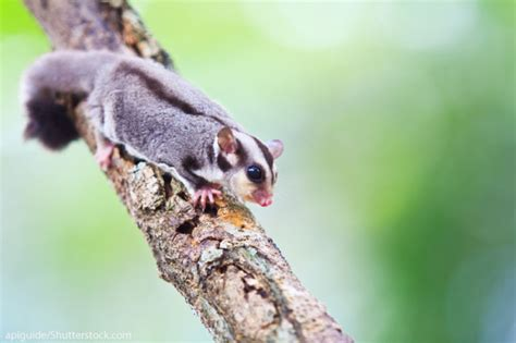 Sugar Glider Facts For Kids: Information With Pictures & Video