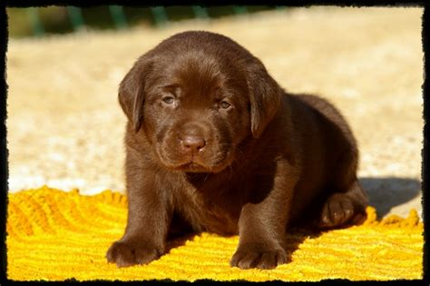 LABRADORS DE CHANTEMELSE : elevage canin de labrador retriever