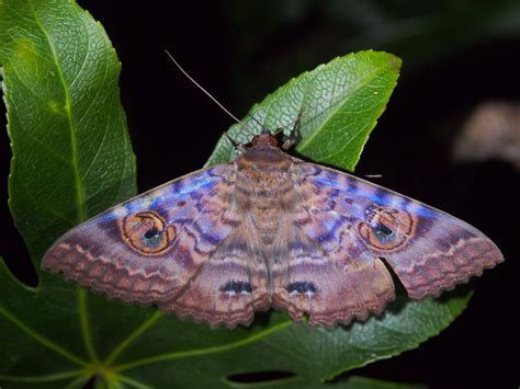 Moth with Human and Cat's Eyes on Wings: robbiesydney