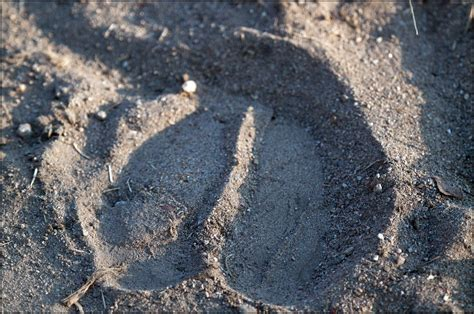 Footprint of a Cape Buffalo | An example of a nicely